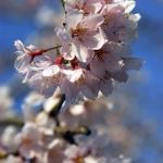 Cherryblossom-58-japanphotoguide