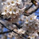 Cherryblossom-59-japanphotoguide