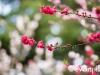 Cherryblossom-60-japanphotoguide