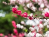 Cherryblossom-61-japanphotoguide