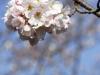 Cherryblossom-62-japanphotoguide