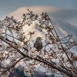 144-Mt-Fuji-Cherry-Blossom