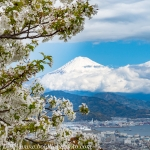 Japan-Cherry-Blossom-337-L