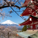 Japan-Cherry-Blossom-355-L