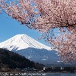 Japan-Cherry-Blossom-357-L