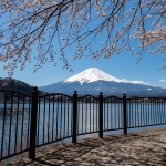 Japan-Cherry-Blossom-359-L