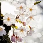 055-Himeji-Cherry-Blossom