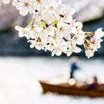 056-Himeji-Cherry-Blossom