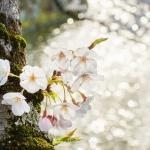 057-Himeji-Cherry-Blossom