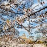 062-Himeji-Cherry-Blossom