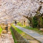086-Kyoto-Cherry-Blossom