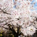 110-Kyoto-Cherry-Blossom