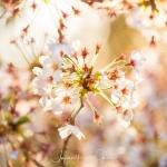112-Kyoto-Cherry-Blossom