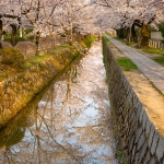 Japan-Cherry-Blossom-194-L