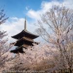 Japan-Cherry-Blossom-264-L