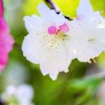 036-Miyajima-Cherry-Blossom
