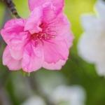 037-Miyajima-Cherry-Blossom