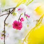 038-Miyajima-Cherry-Blossom