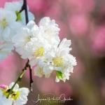041-Miyajima-Cherry-Blossom