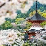 050-Miyajima-Cherry-Blossom