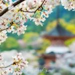 051-Miyajima-Cherry-Blossom