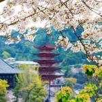 052-Miyajima-Cherry-Blossom