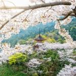 053-Miyajima-Cherry-Blossom