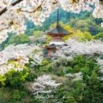 054-Miyajima-Cherry-Blossom