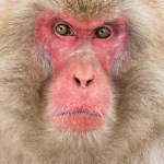 japanphotoguide-japanese-snow-monkeys_0064