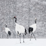 japanphotoguide-red-crowned-cranes_0046