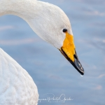 japanphotoguide-whooper-swans_0005