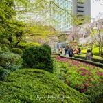 009-Tokyo-Cherry-Blossom