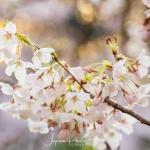011-Tokyo-Cherry-Blossom