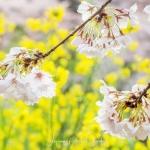 012-Tokyo-Cherry-Blossom
