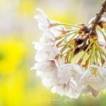 015-Tokyo-Cherry-Blossom