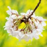 017-Tokyo-Cherry-Blossom