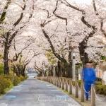 021-Tokyo-Cherry-Blossom