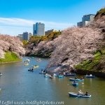 Japan-Cherry-Blossom-25-L