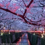 Japan-Cherry-Blossom-53-L