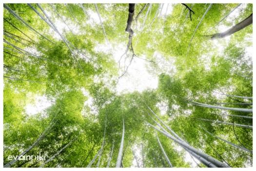 arashiyama kyoto bamboo grove