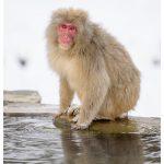 Japan Photo Guide Snow Monkeys 002