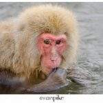 Japan Photo Guide Snow Monkeys 003