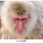 Japan Photo Guide Snow Monkeys 010