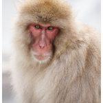Japan Photo Guide Snow Monkeys 021