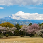 Japan-Cherry-Blossom-333-L