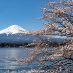 Japan-Cherry-Blossom-360-L