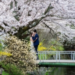 077-Kyoto-Cherry-Blossom