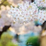 079-Kyoto-Cherry-Blossom