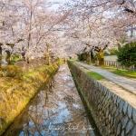 085-Kyoto-Cherry-Blossom