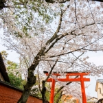 096-Kyoto-Cherry-Blossom